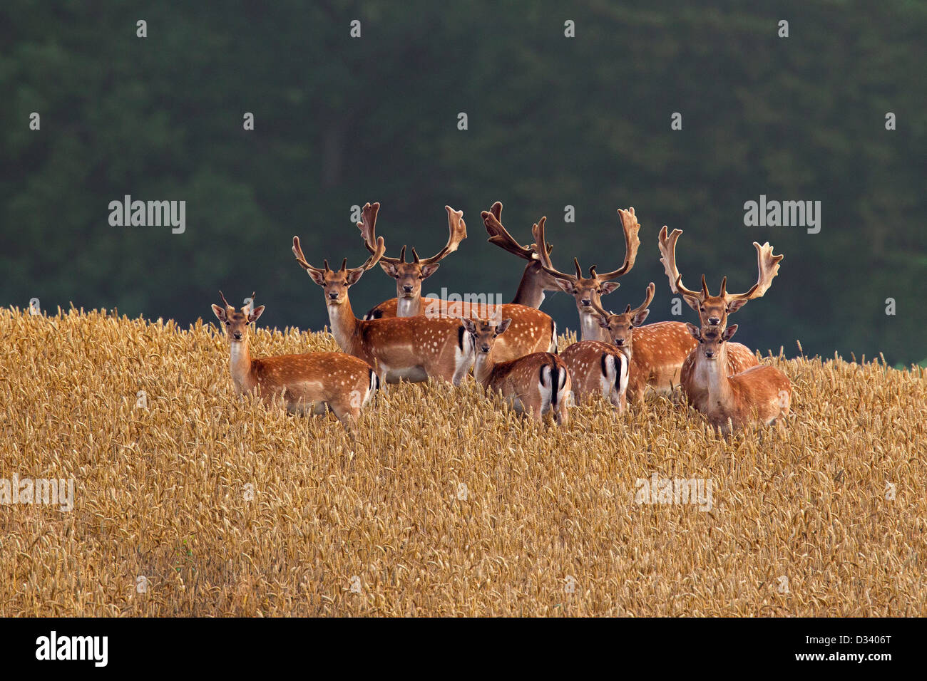 Herd of fallow deer (Dama dama) bucks with antlers covered in velvet in wheat field in summer - Stock Image