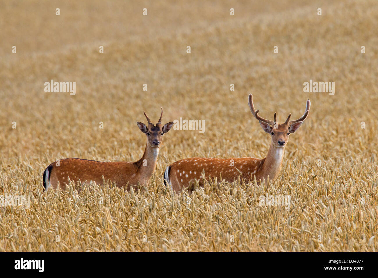 Two young fallow deer (Dama dama) bucks with antlers covered in velvet in wheat field in summer Stock Photo