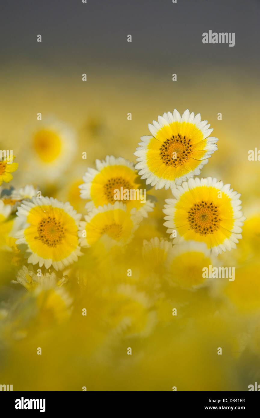 Tidy-Tips (Layia platyglossa) (Asteraceae) Carrizo Plain National Monument, California APRIL - Stock Image