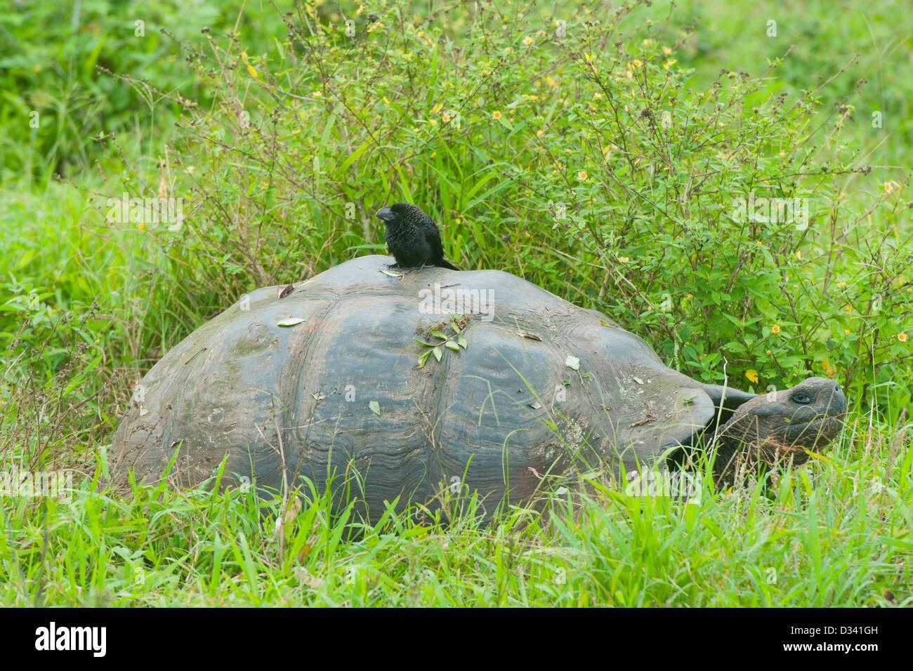 Galápagos Giant Tortoise (Chelonoidis nigra) Wild, with Smooth-billed Ani (Crotophaga ani), Santa Cruz island, - Stock Image