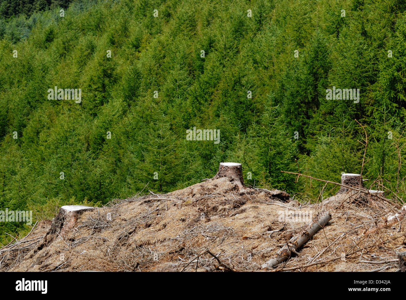 Tree stumps from recently felled pine trees juxtaposed against foliage from pine forest. - Stock Image