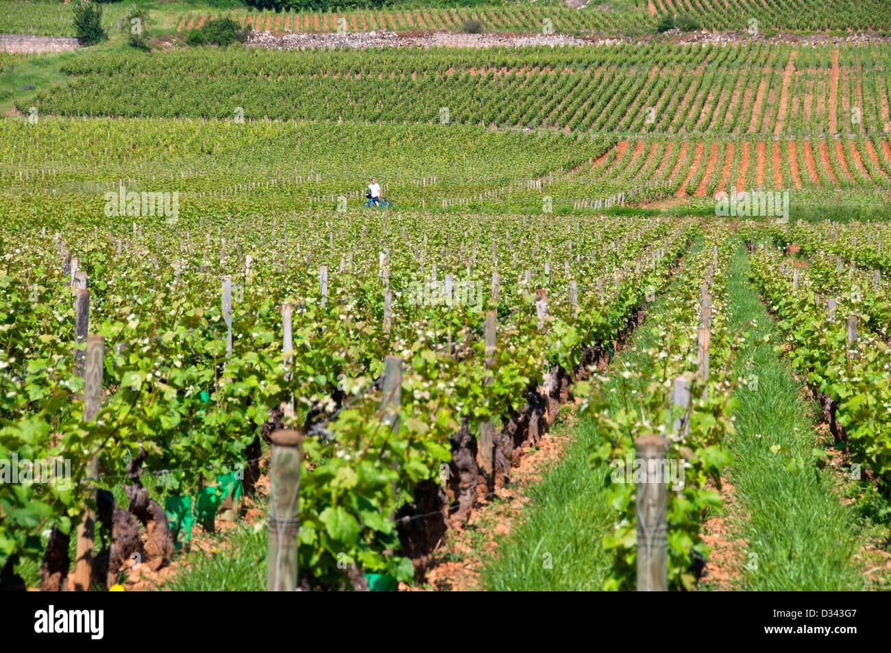 Vineyards Beaune Bourgogne France - Stock Image