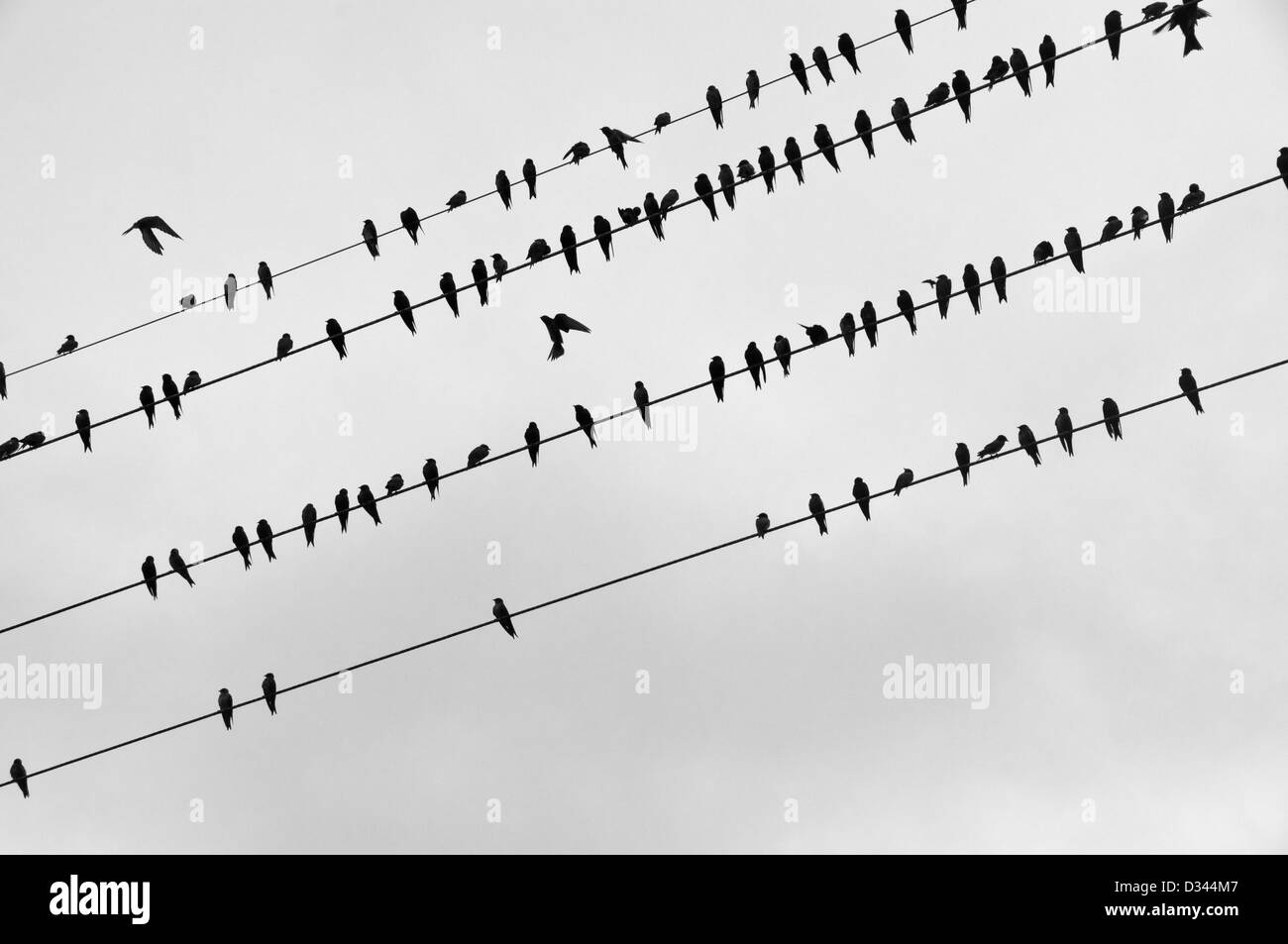 Birds on electric cables, Leticia, Colombia - Stock Image