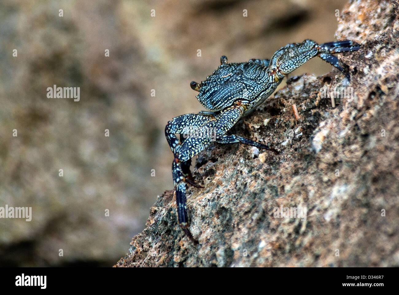Rock Crab Grapsus tenuicrustatus Ka'ena Point Natural Reserve Hawaii USA - Stock Image