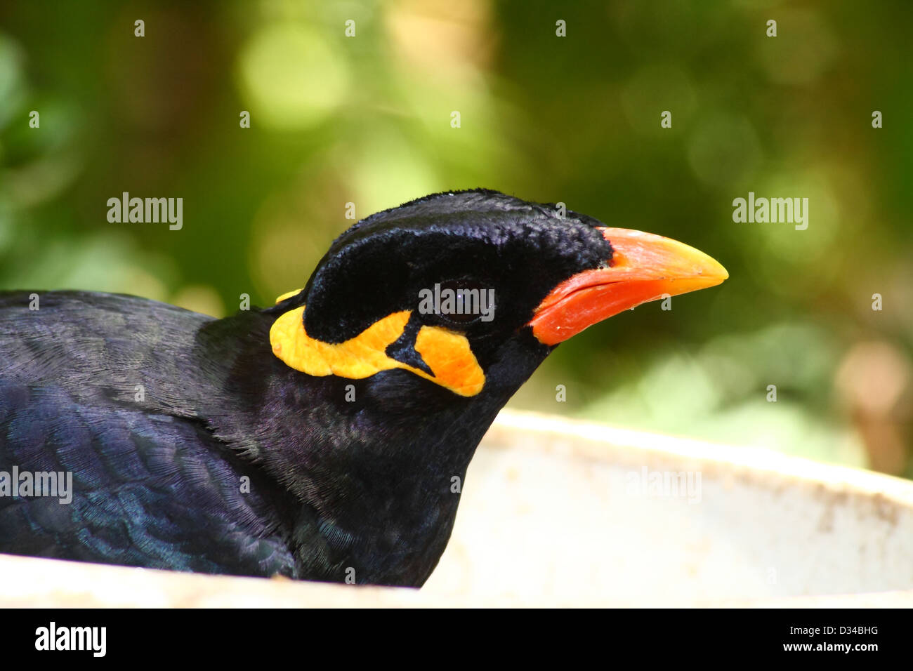 greater hill mynah, gracula religiosa from south america Stock Photo