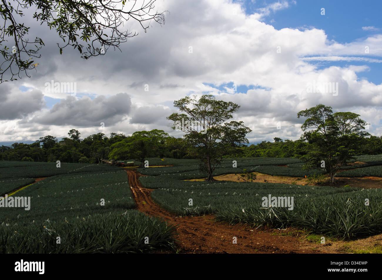 Sisal plantation near Upala, Alajuela Province. Costa Rica. - Stock Image
