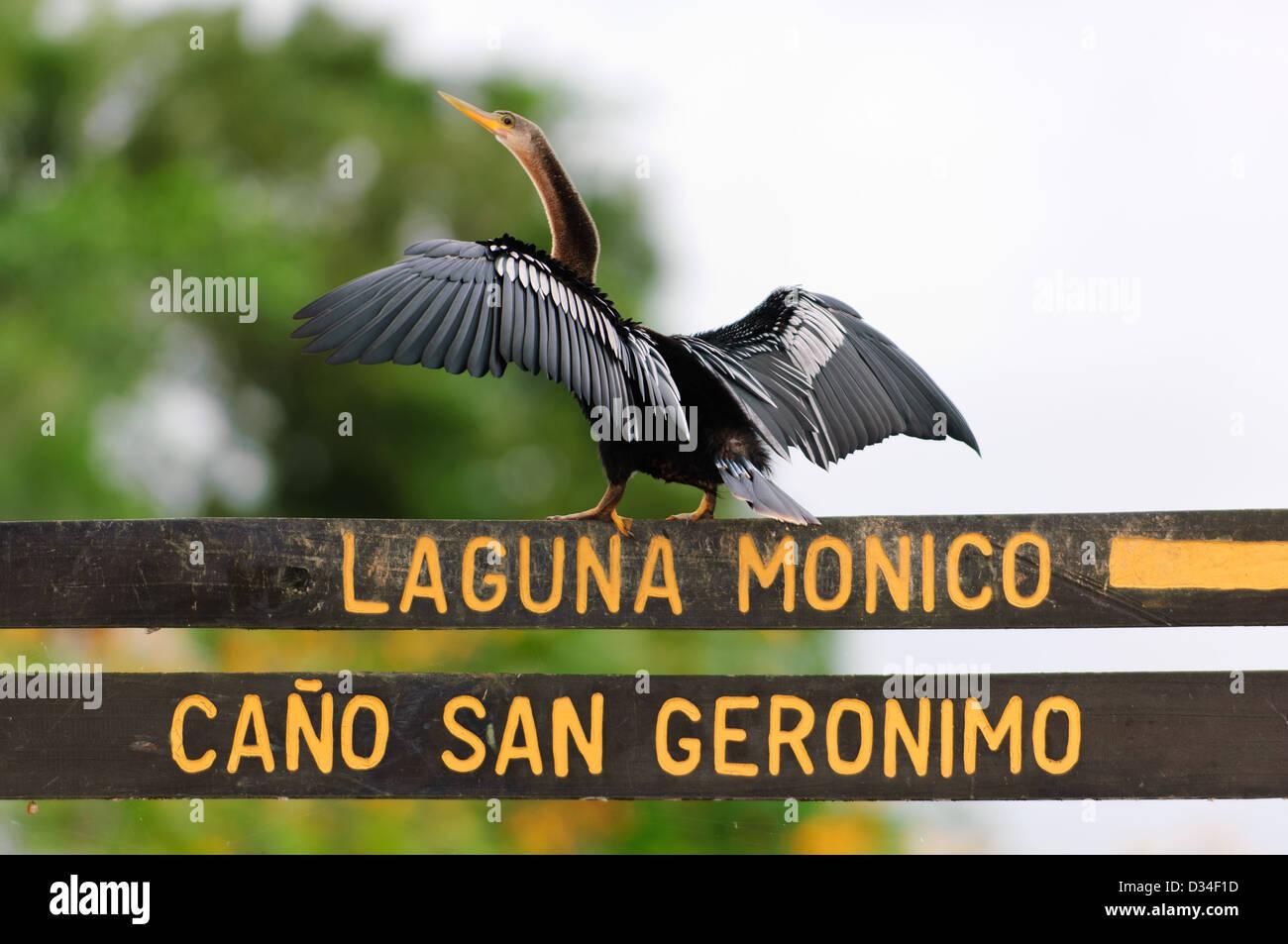 Anhinga (Anhinga anhinga) drying its wings on a signpost in Caño Negro Wildlife Refuge. Costa Rica. - Stock Image
