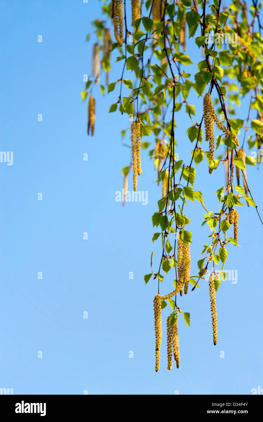 blossoming branch of a birch in the spring against the blue sky - Stock Image
