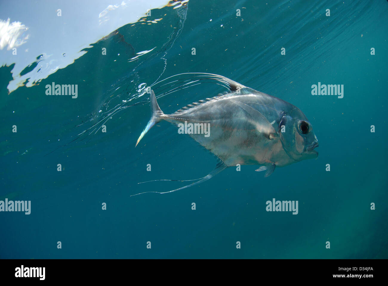 Beautiful African Pompano fish swimming in ocean - Stock Image