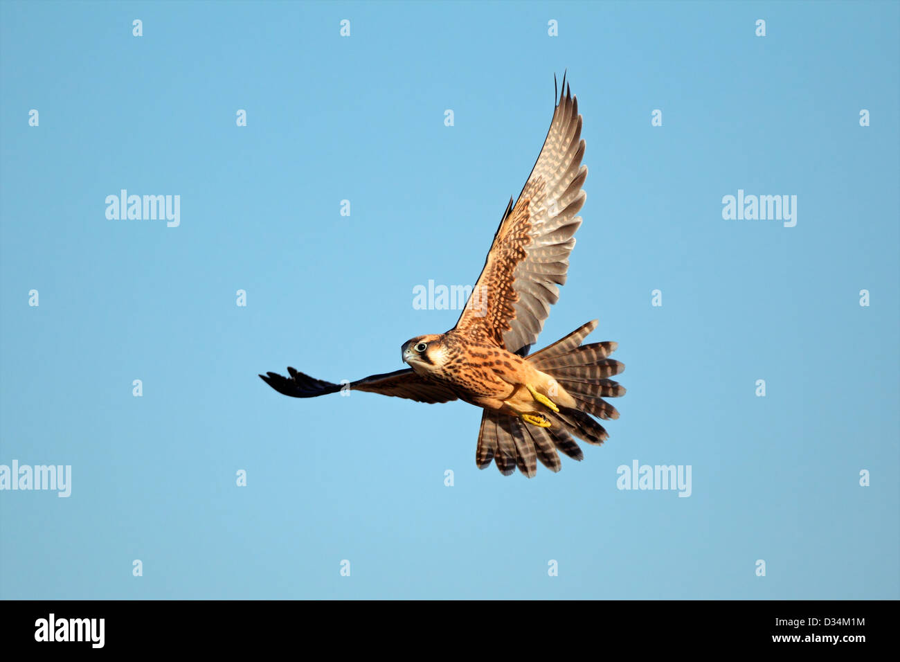 Lanner falcon (Falco biarmicus) in flight against a blue sky, South Africa - Stock Image