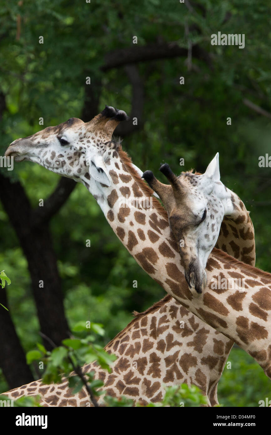 Giraffe on Safari, Africa - Stock Image