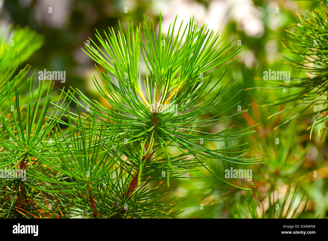 Background from conifer evergreen tree branches texture. calothamnus validus - Stock Image