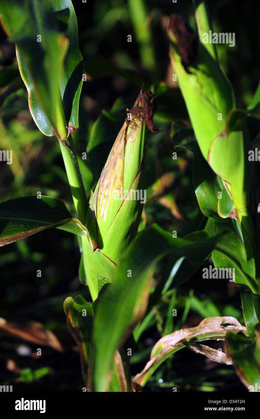 Ear of corn on a cornstalk - Stock Image
