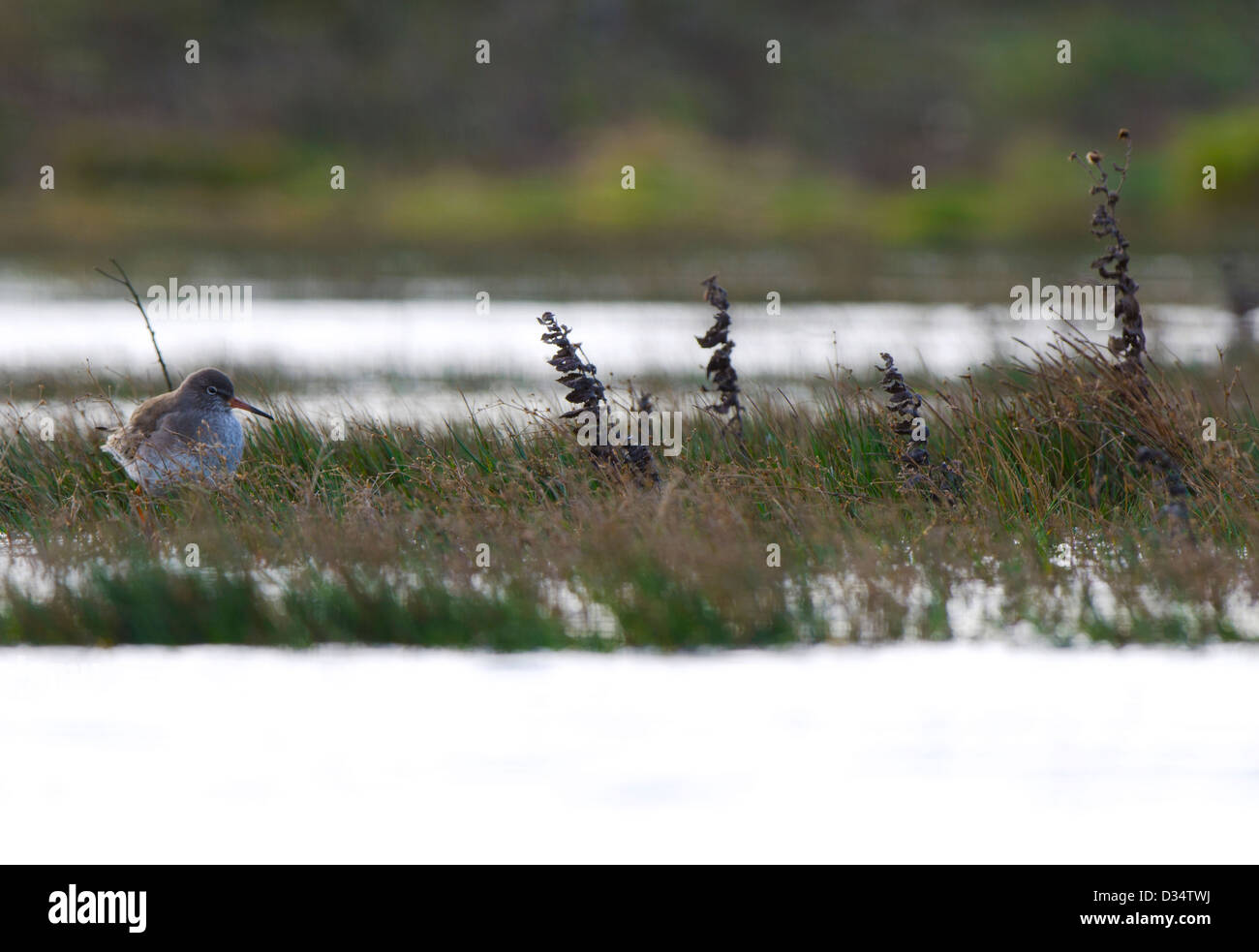 a red shank resting - Stock Image