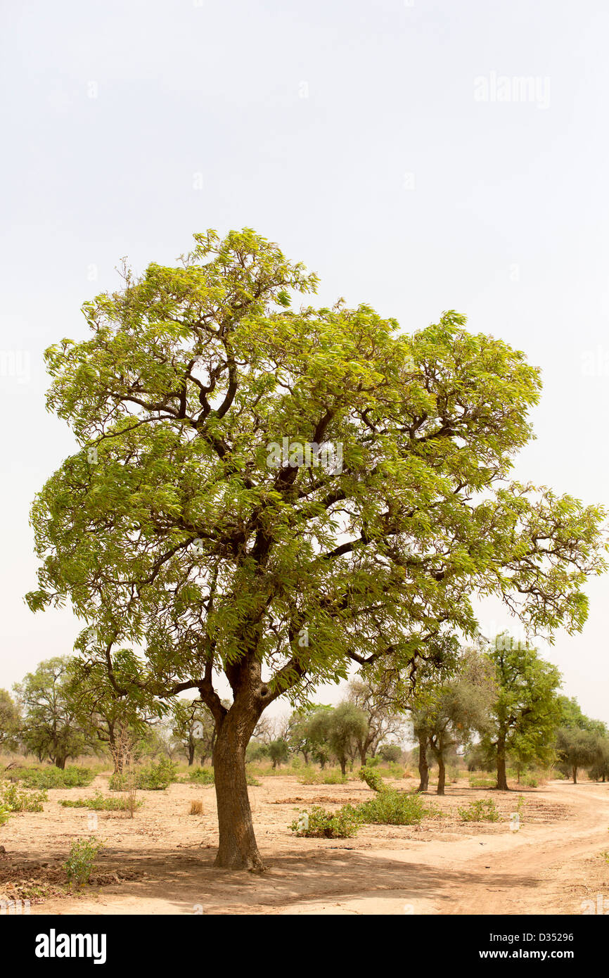 Yako, Burkina Faso, May 2012: Shea nut tree - Stock Image