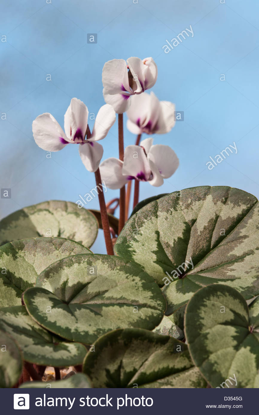 Cyclamen coum selected leaf form Persian violet early Spring flower perennial white marbles leaf foliage February - Stock Image