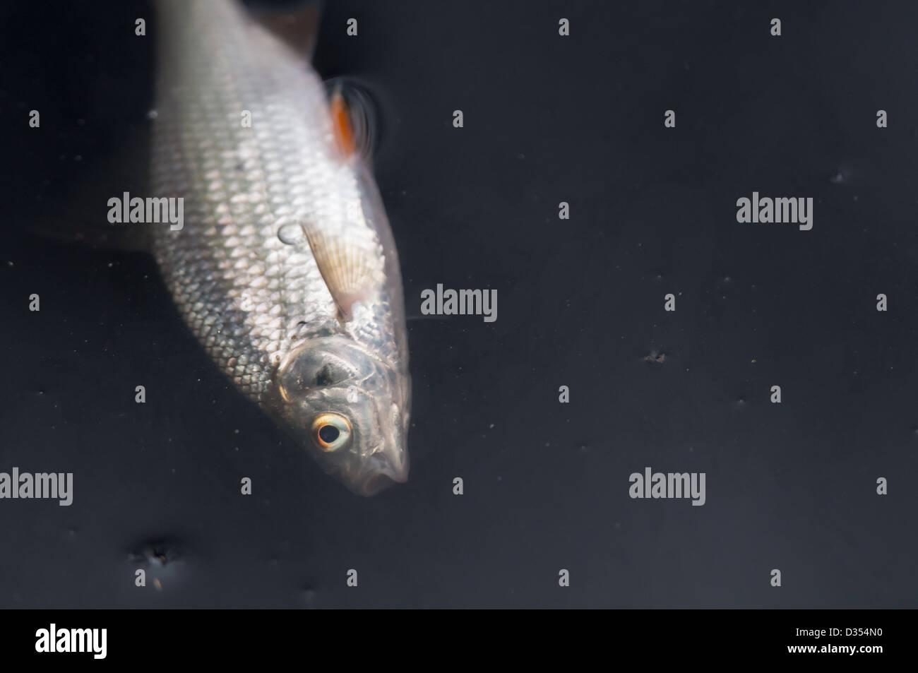 Dead fish in a stream - Stock Image
