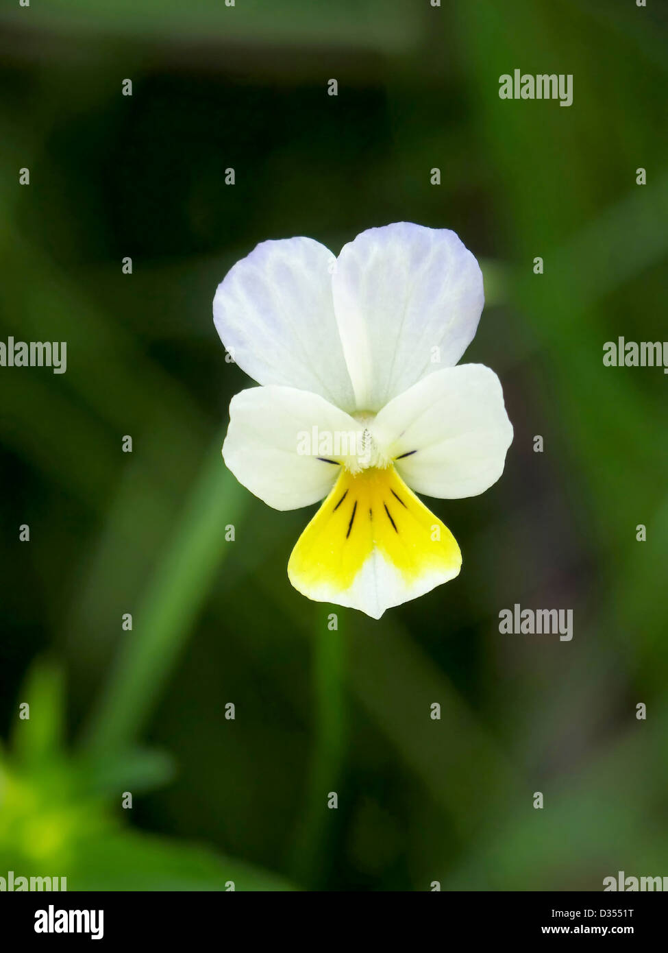White and Yellow Miniature Pansy - Stock Image