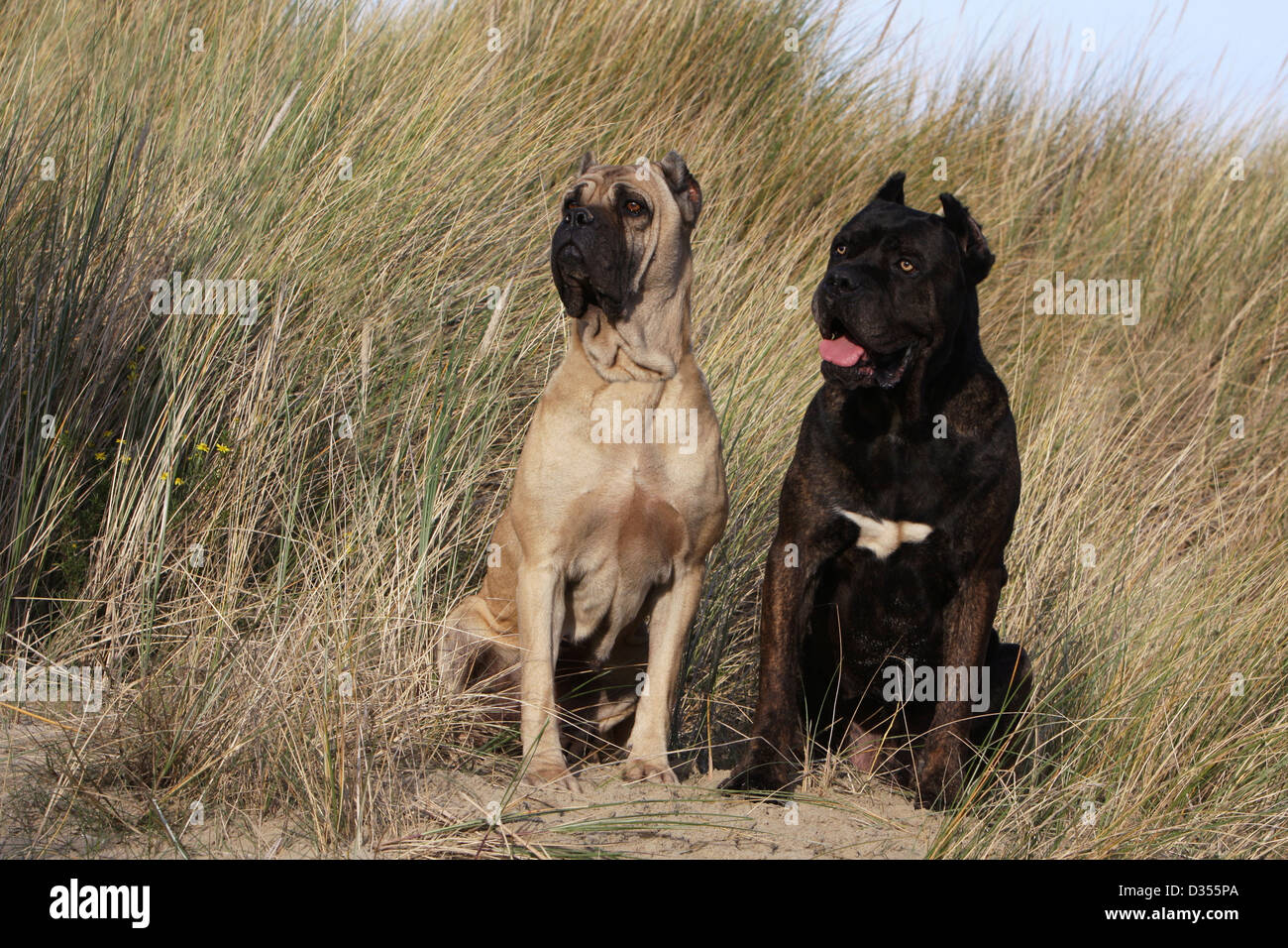 Two Cane Corso Dogs Stock Photos Two Cane Corso Dogs Stock Images