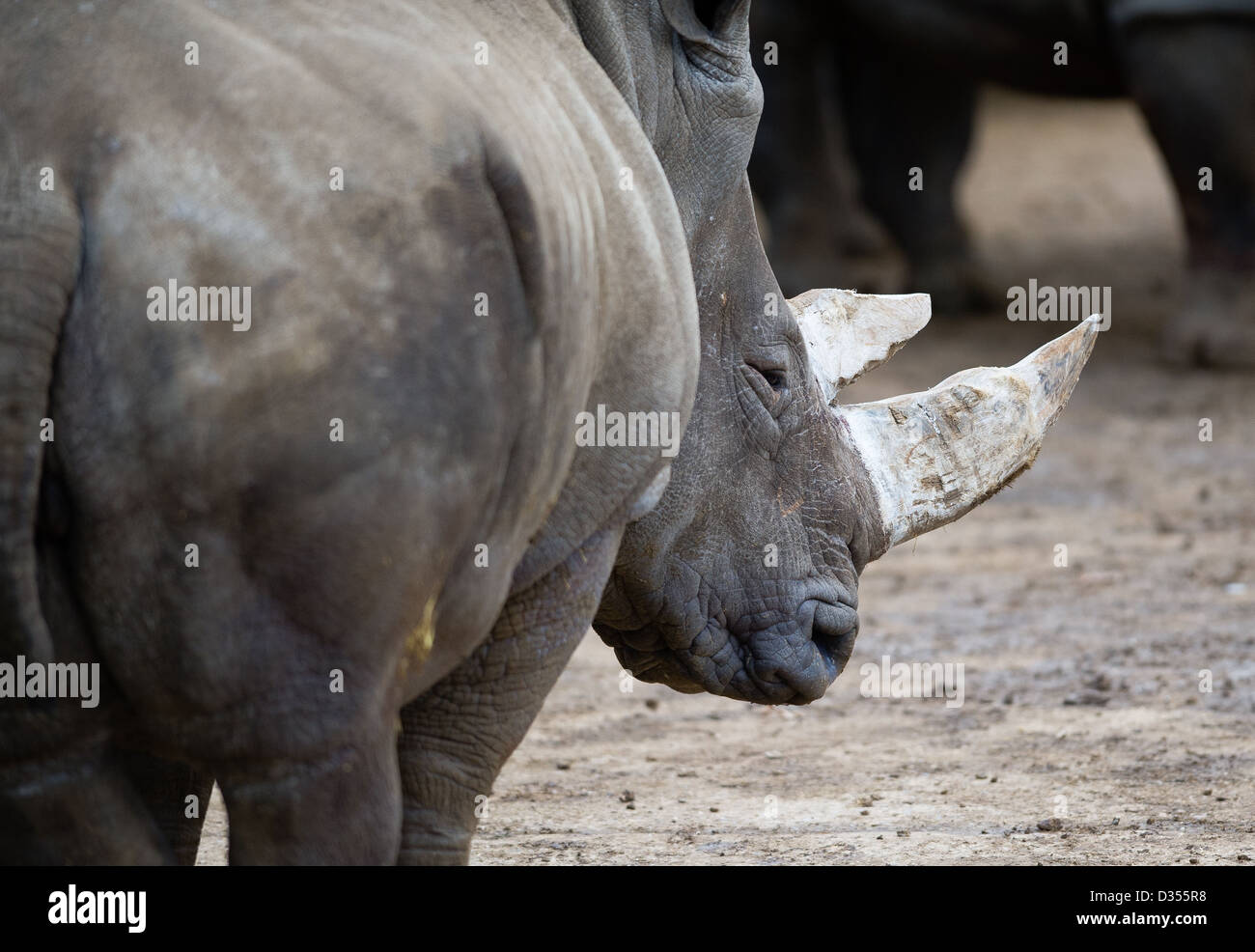 White Rhinoceros (Ceratotherium simum) - Stock Image