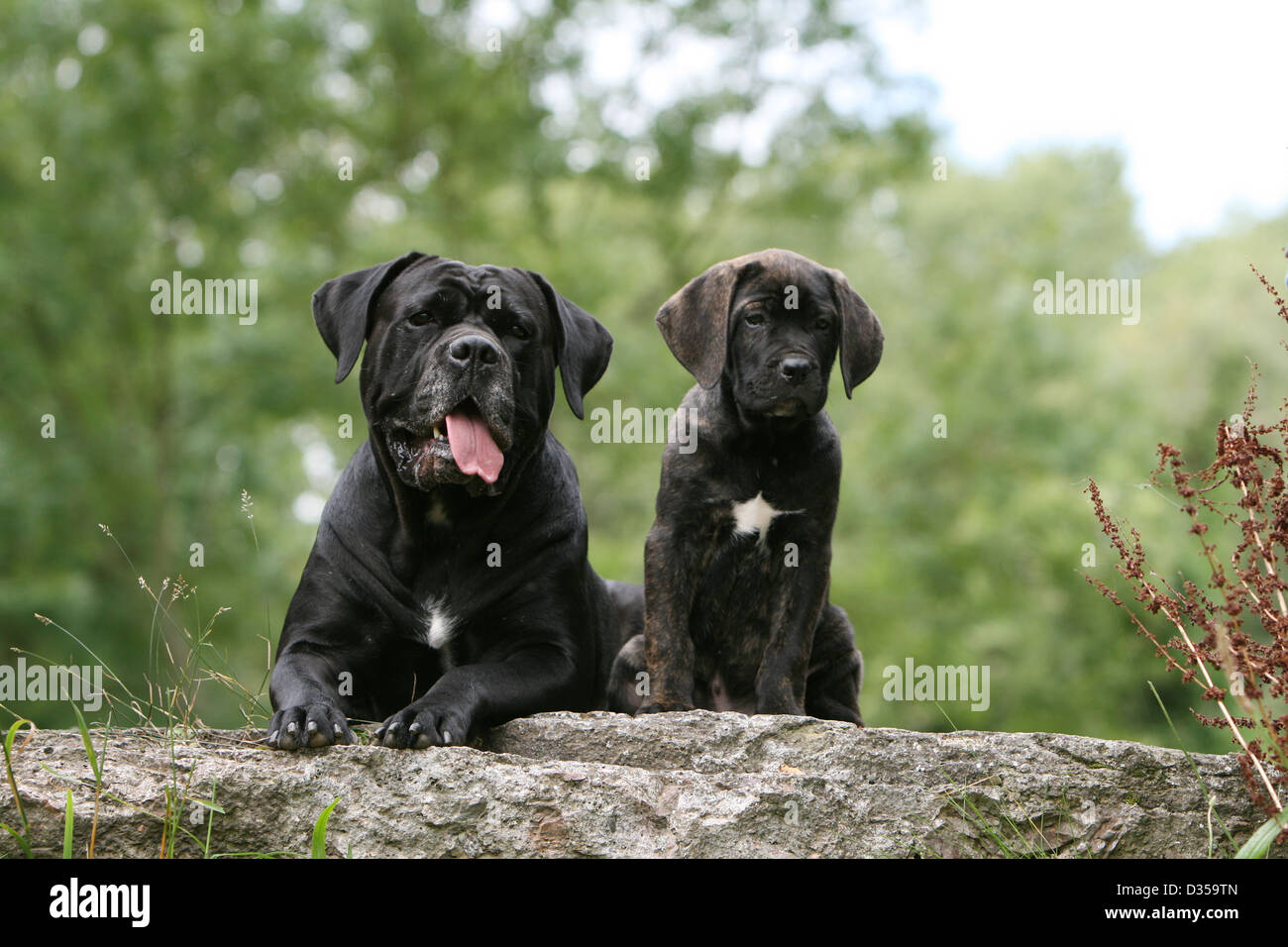 Dog Cane Corso Italian Molosser Adult And Puppy In A Meadow Stock