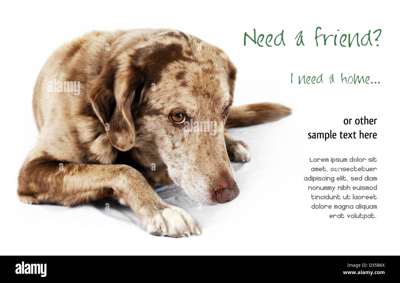 Cute but shy funny looking mutt dog, perfect for pet shelter or rescue and adoption programs. - Stock Image