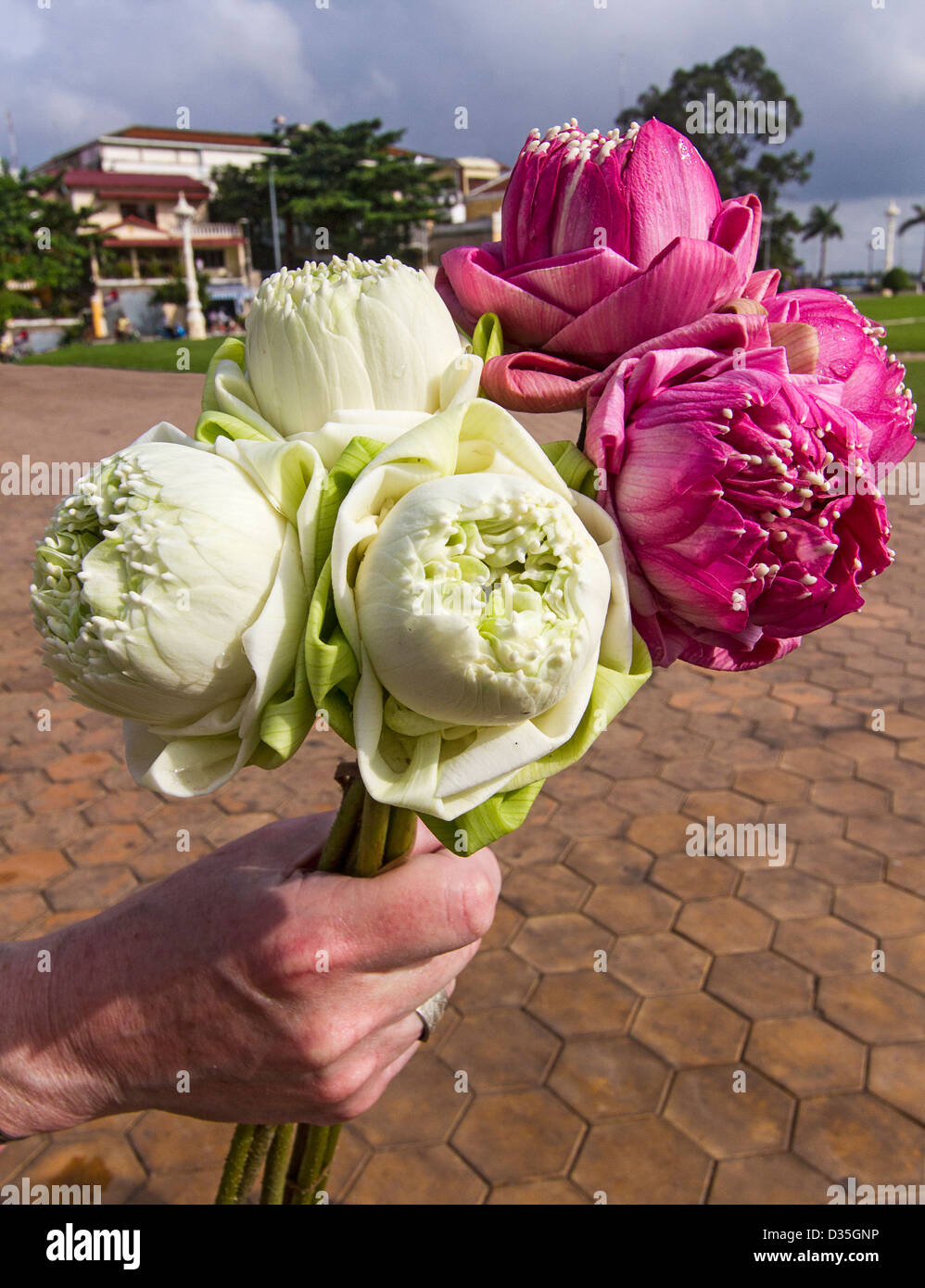 Lotus flowers cambodia these flowers are a symbol of buddhism lotus flowers cambodia these flowers are a symbol of buddhism mightylinksfo