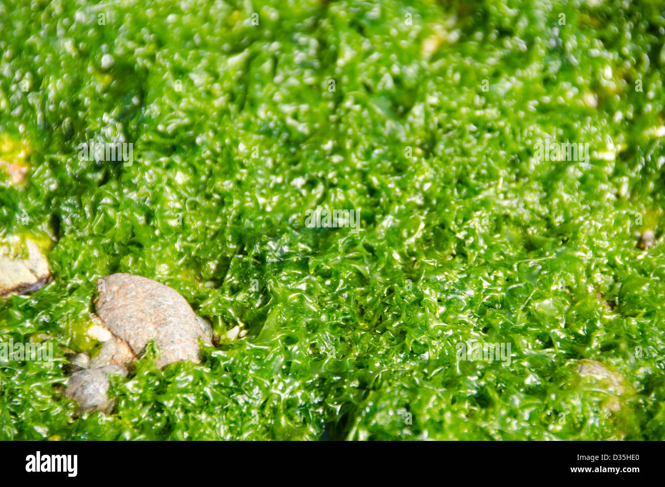 Green algae background on the rocky surface of a tidal flat in Japan - Stock Image