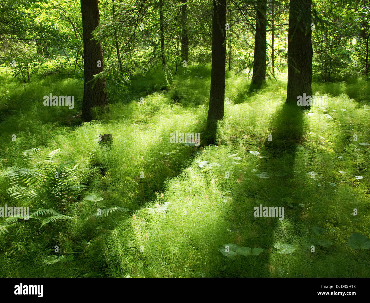Sunshine in the under storage of a coniferous forest in Sweden - Stock Image