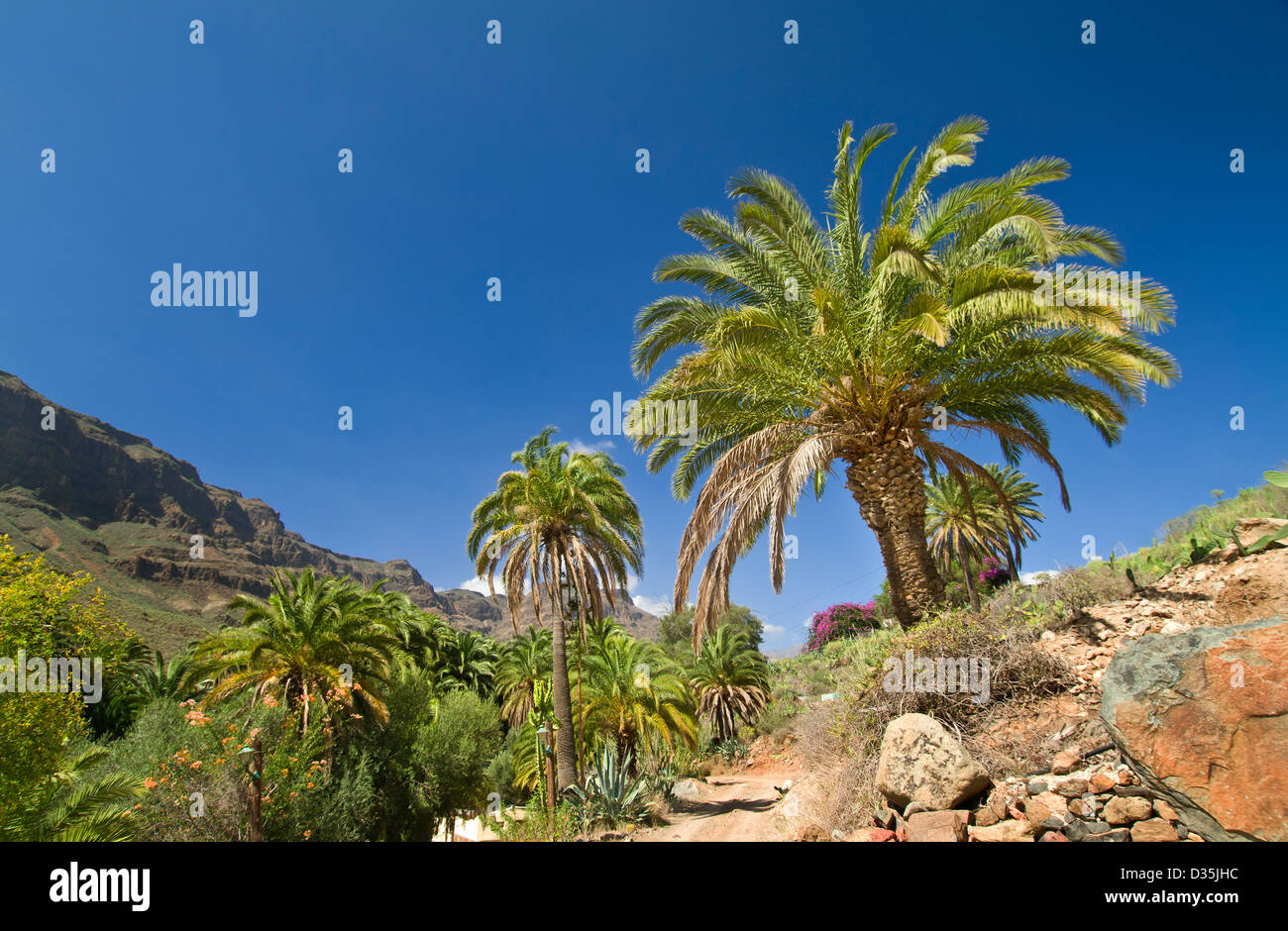 A lush oasis of palm trees and Bougainvillea with mountains of central Gran Canaria behind Canary Islands Spain Stock Photo