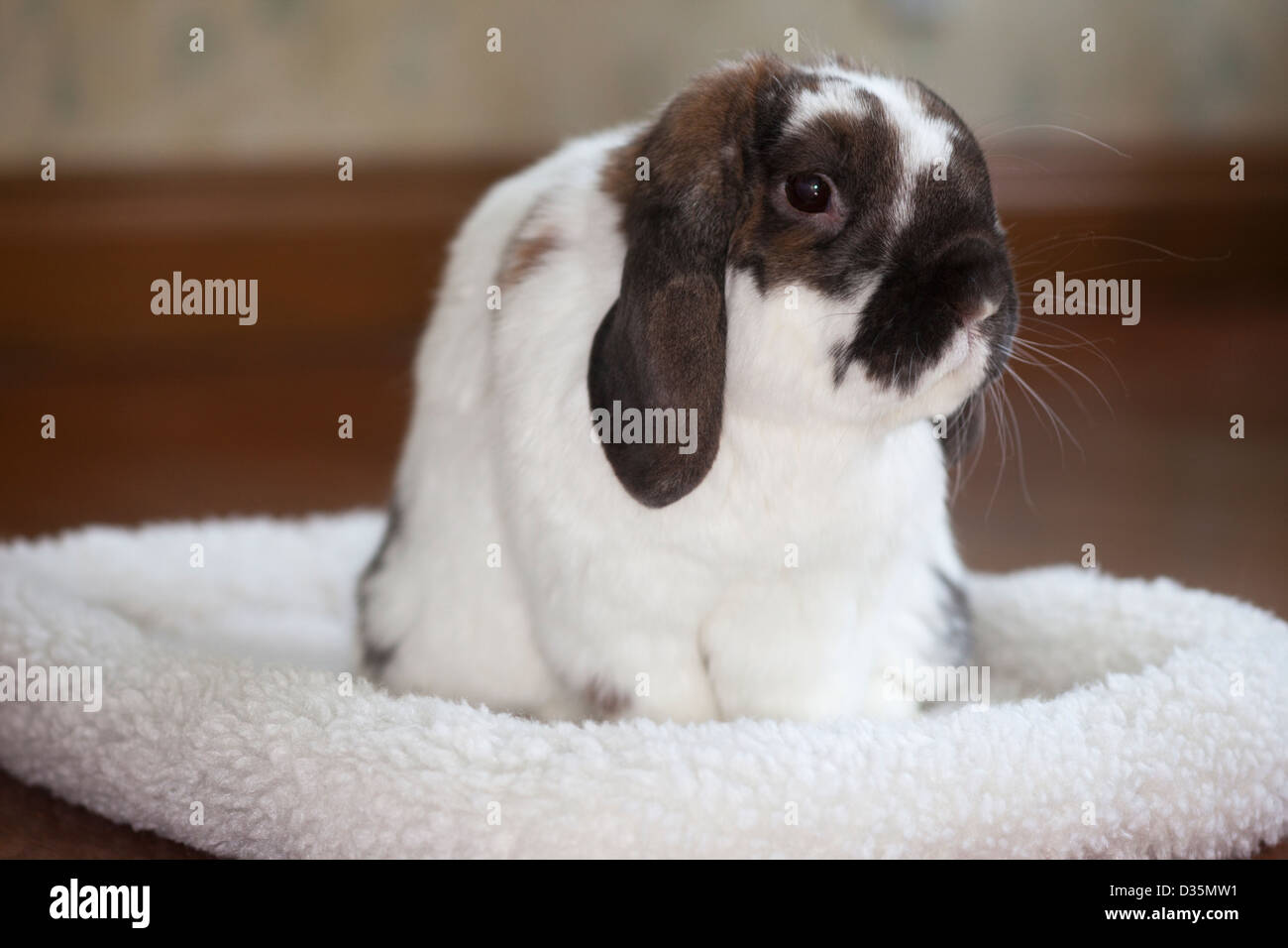 Holland lop pet rabbit in his fleece bed in a hotel room - Stock Image