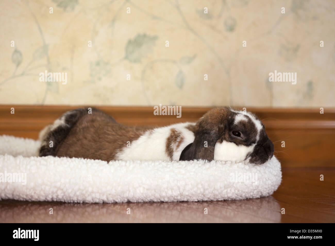 Holland lop pet rabbit sleeping in his fleece bed in a hotel room - Stock Image