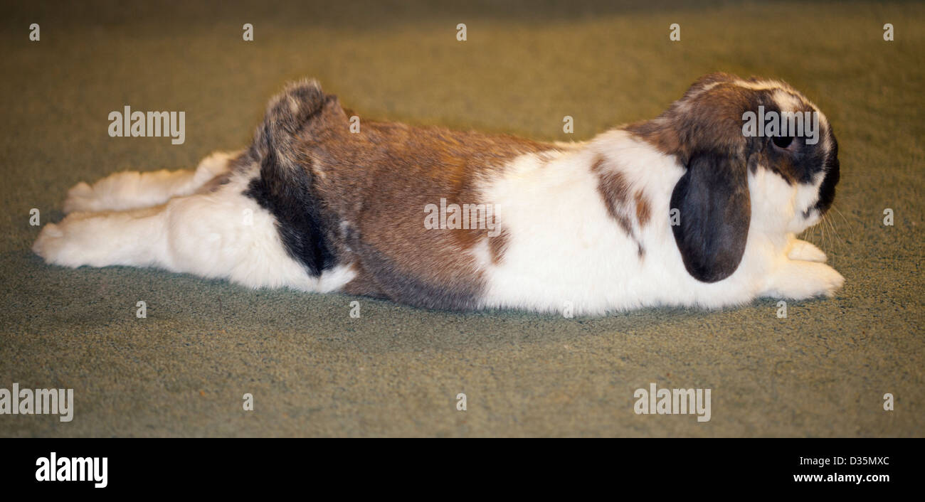 Holland lop pet rabbit stretched out on the carpet in a hotel room - Stock Image