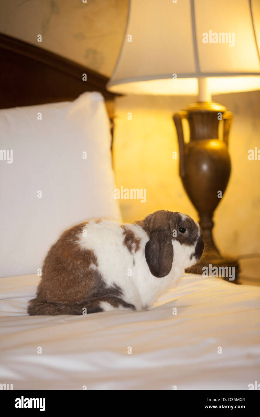 Holland lop pet rabbit sitting on the bed in a hotel room - Stock Image