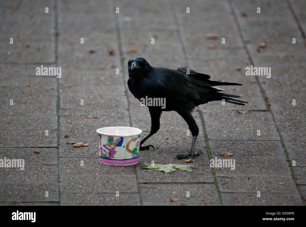 A savaging Raven working the streets of Civic Canberra Australia - Stock Image