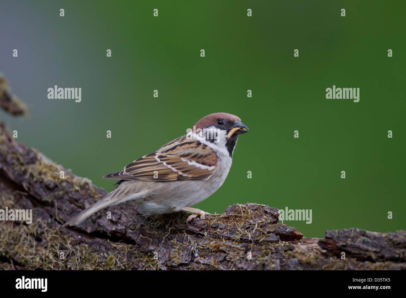 Eurasian Tree Sparrow Feldsperling Passer montanus - Stock Image