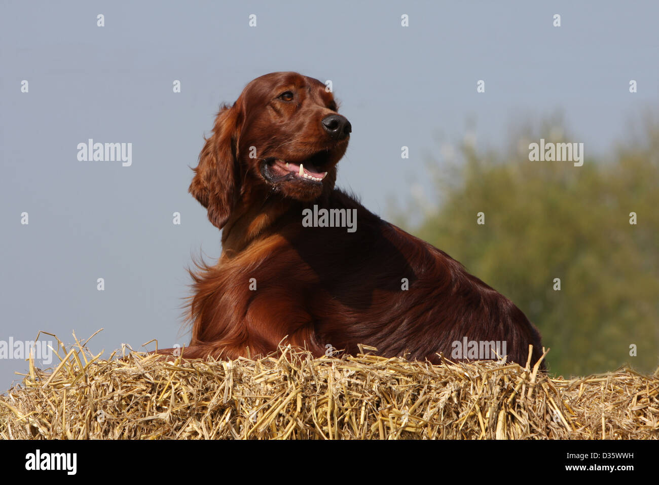 Dog Irish Setter / Red Setter adult lying on the straw Stock Photo
