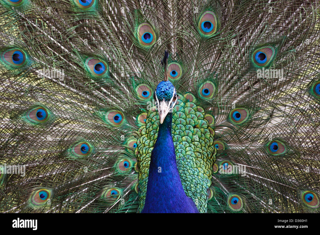 Male Peacock - Stock Image