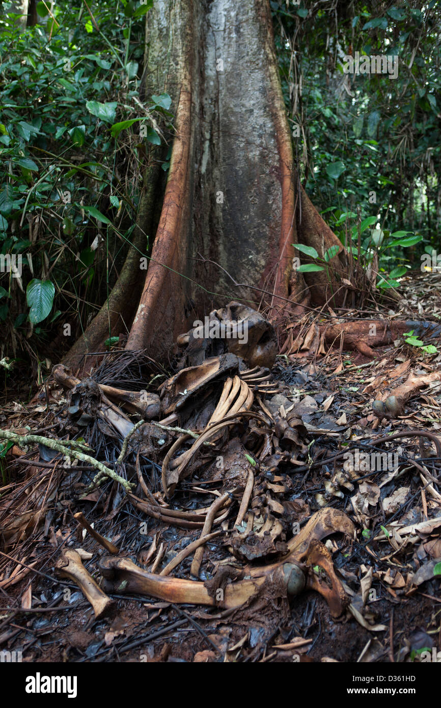 CAMEROON, 1st October 2012: The remains of a female forest elephant that was shot and killed by an army officer - Stock Image
