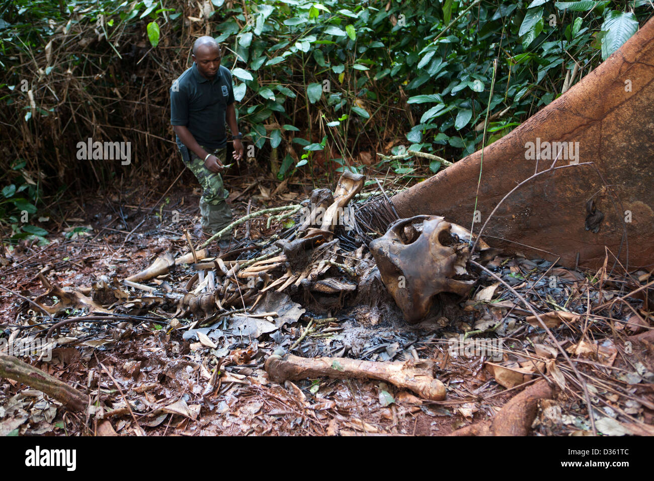 CAMEROON, 1st October 2012:  Ekodek Gatien, WWF Park Ranger, with the remains of a female forest elephant killed - Stock Image