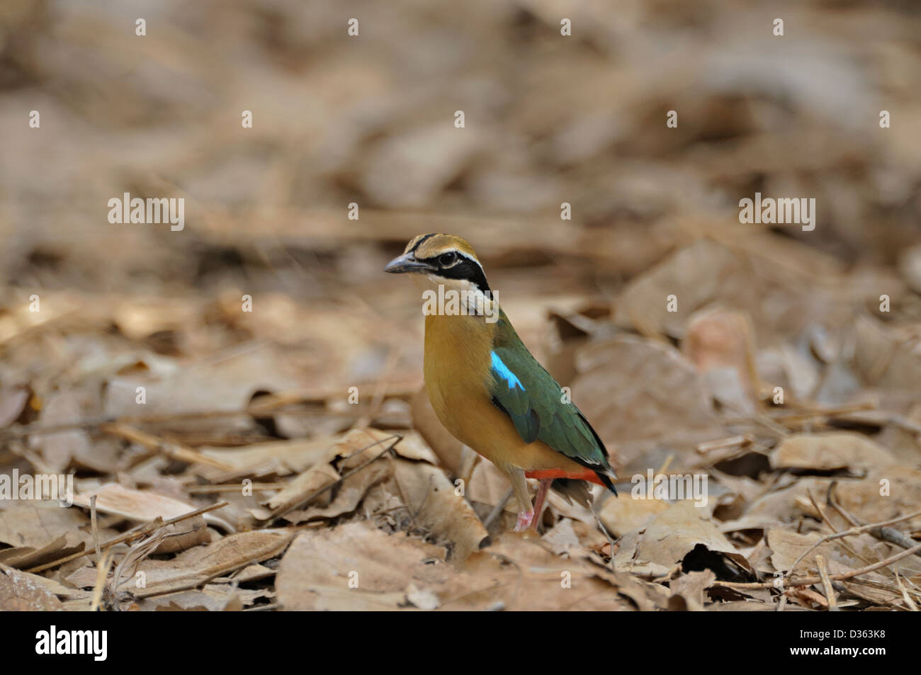 Indian Pitta (Pitta brachyura) in Ranthambore national park, India - Stock Image