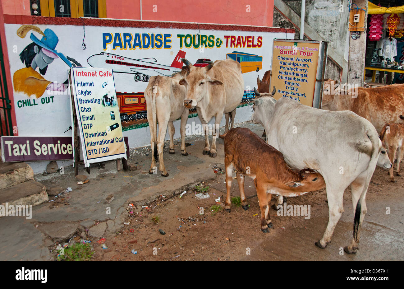 Holy Cows Travel agency Travels Paradise Tours Covelong ( Kovalam or Cobelon ) India Tamil Nadu - Stock Image