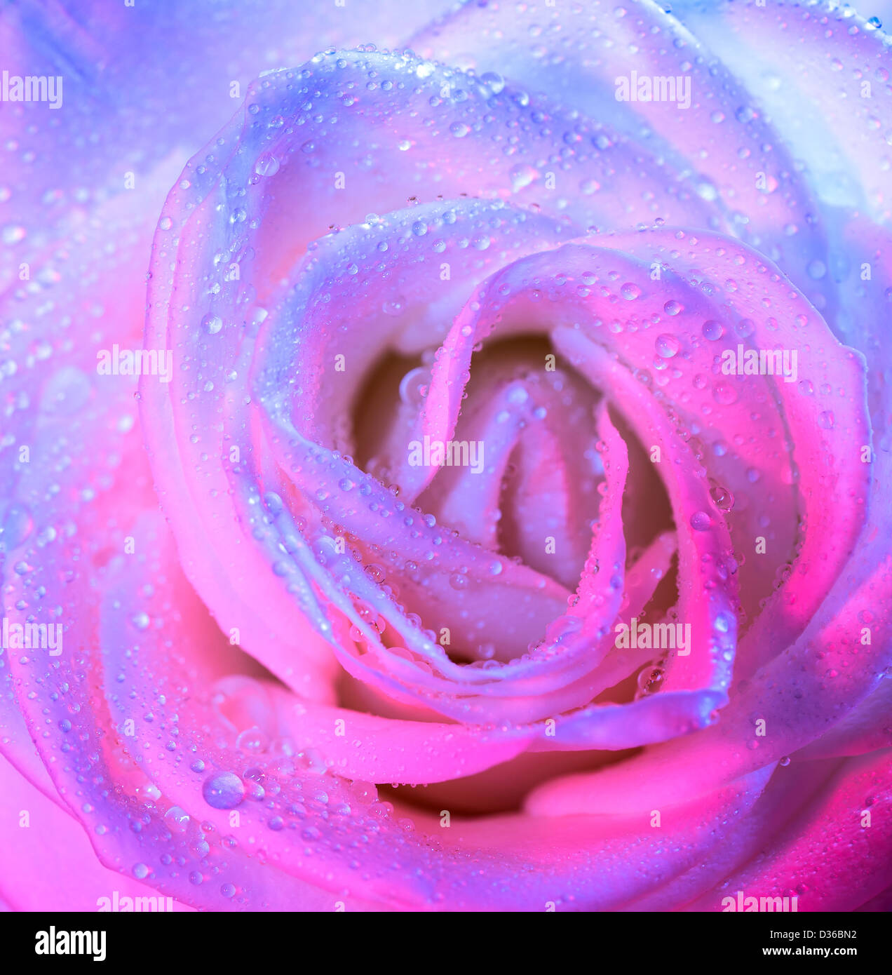 Photo Of Beautiful White Rose Background With Pink Light Abstract