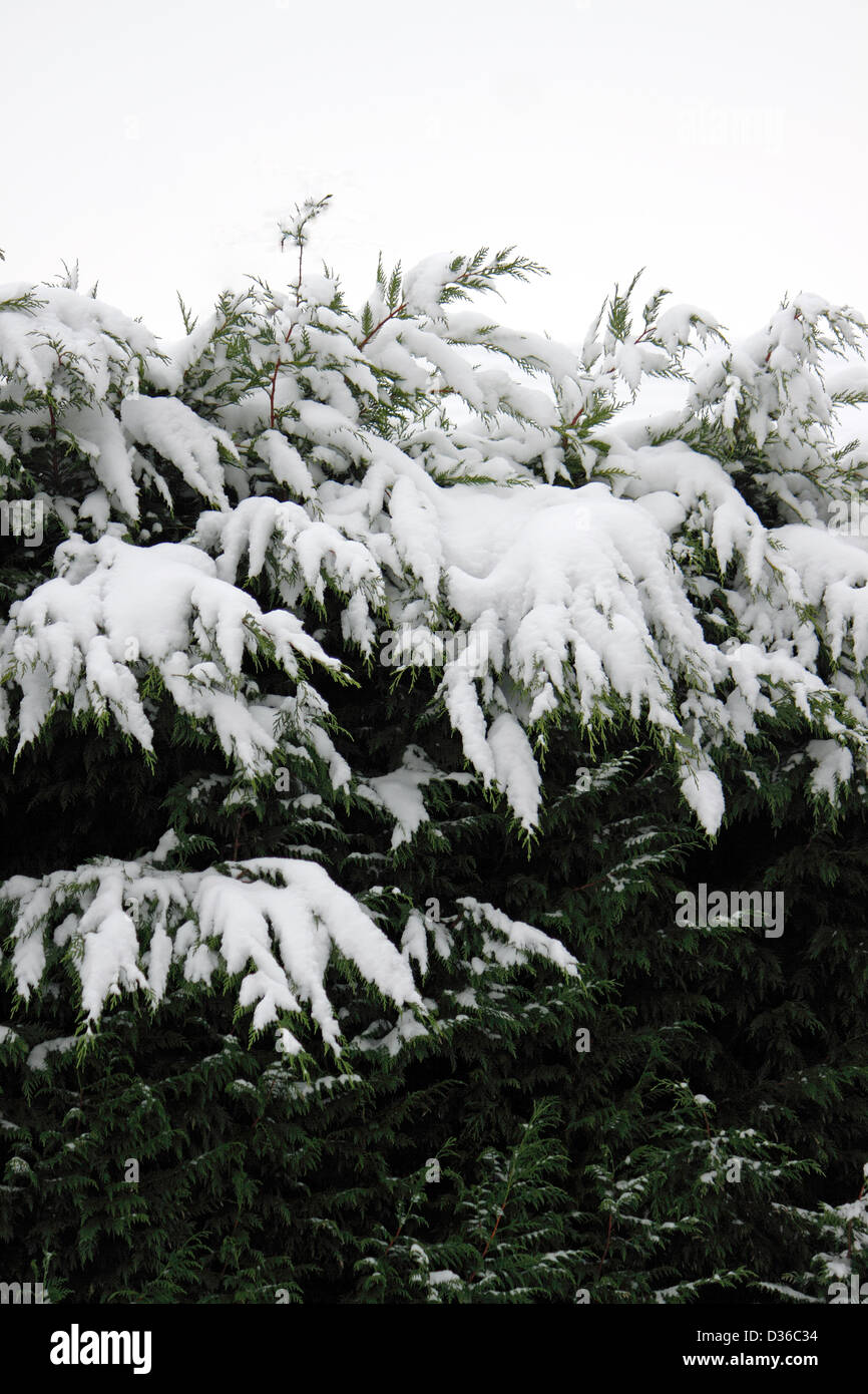 SNOW COVERED CONIFERS IN AN ENGLISH GARDEN. - Stock Image