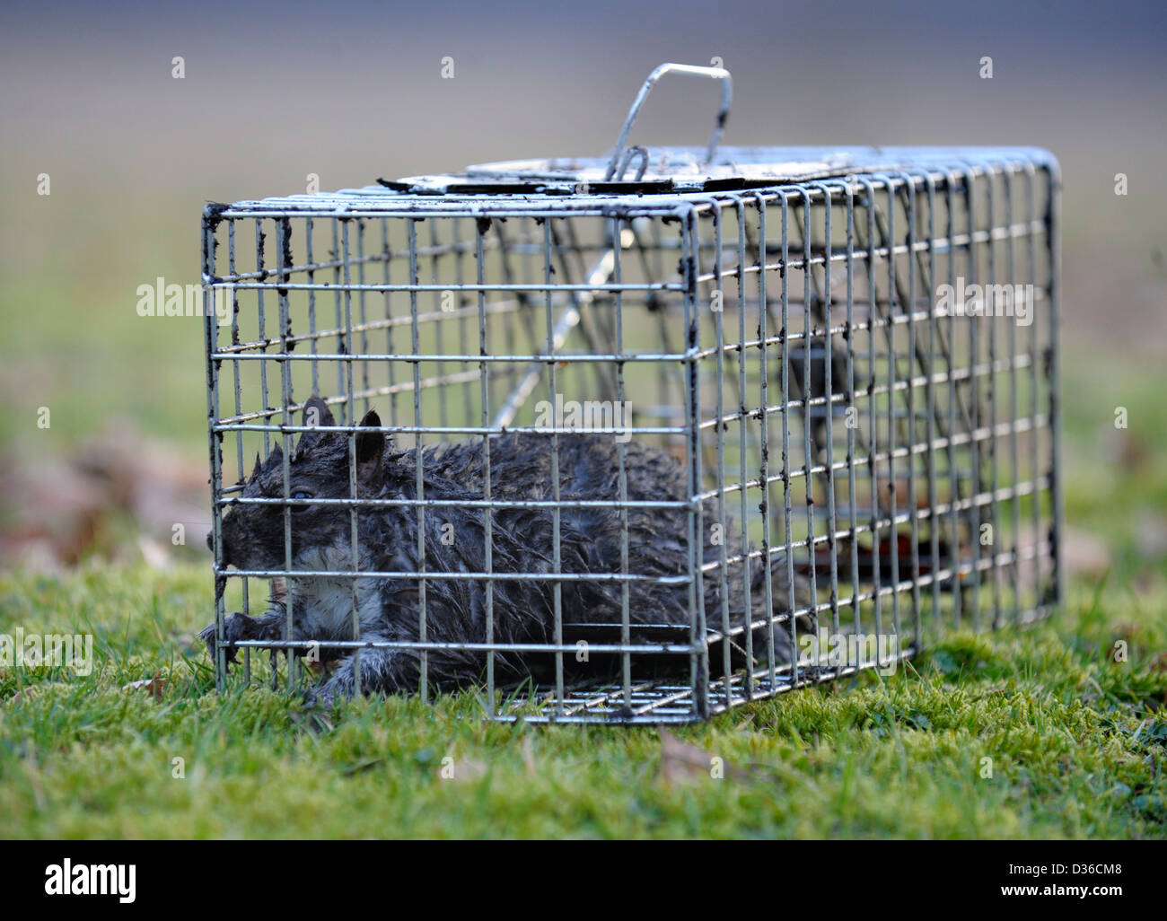 grey squirrel in humane trap, cage - Stock Image