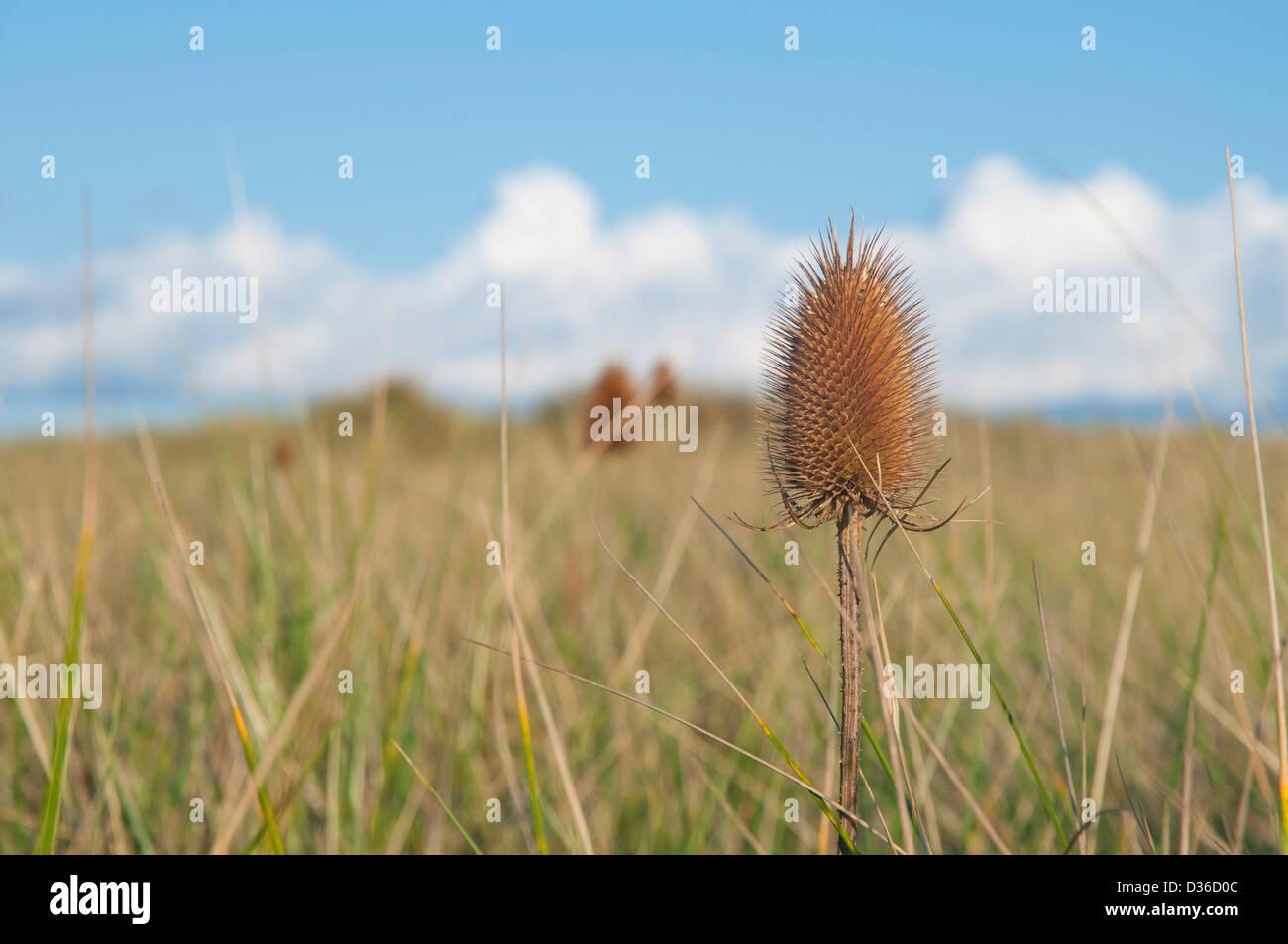 A dried wild teasel (Dipsacus fullonum) head in an autumn meadow in Scotland. Sometimes spelled teazel or teazle. - Stock Image