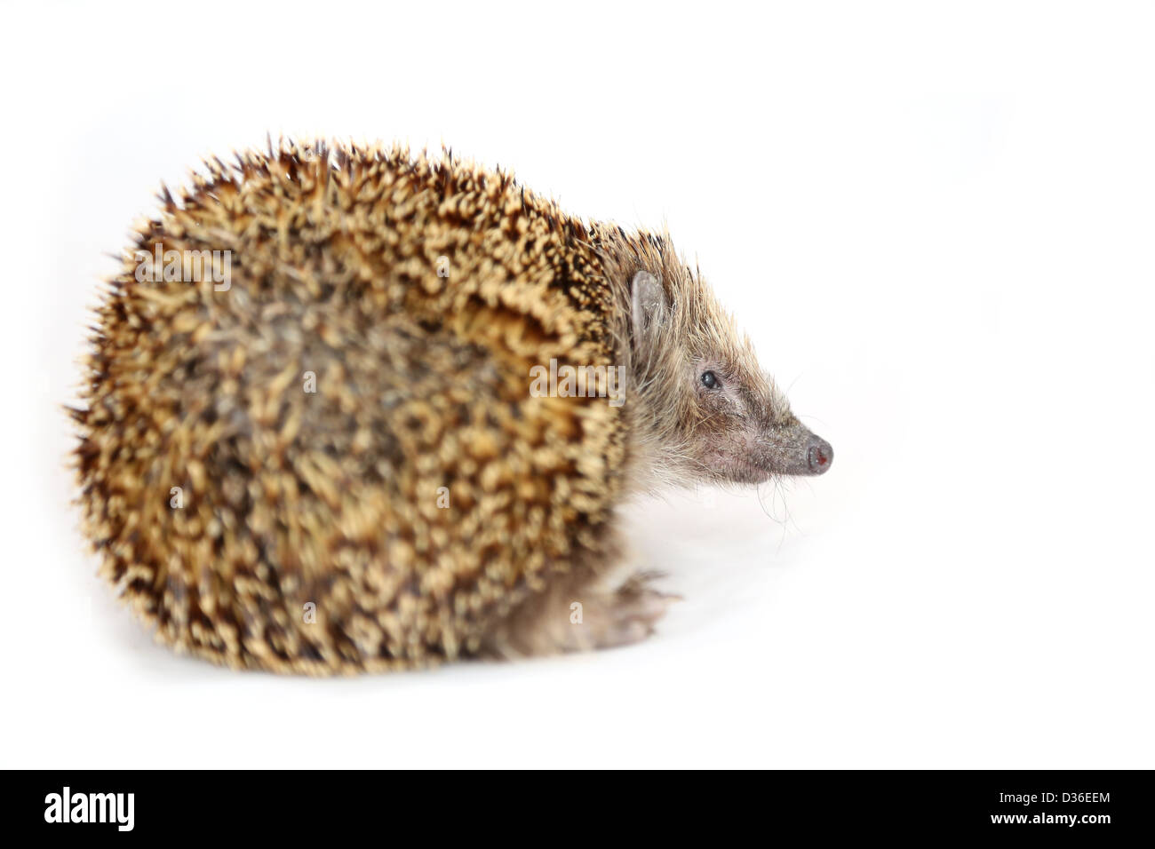 Huffish hedgehog turning his back on viewer - Stock Image