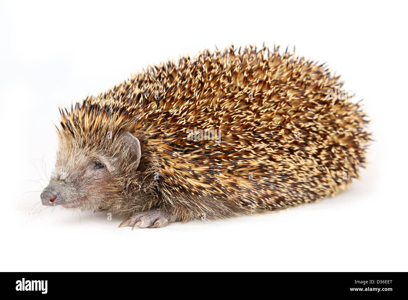 Adorable hedgehog walking and sniiffing seen from the side in front of white background - Stock Image