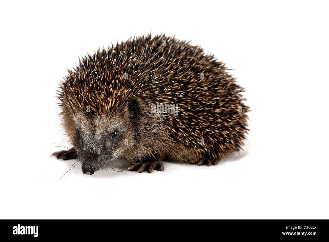 Adorable hedgehog standing and looking at the beholder - Stock Image