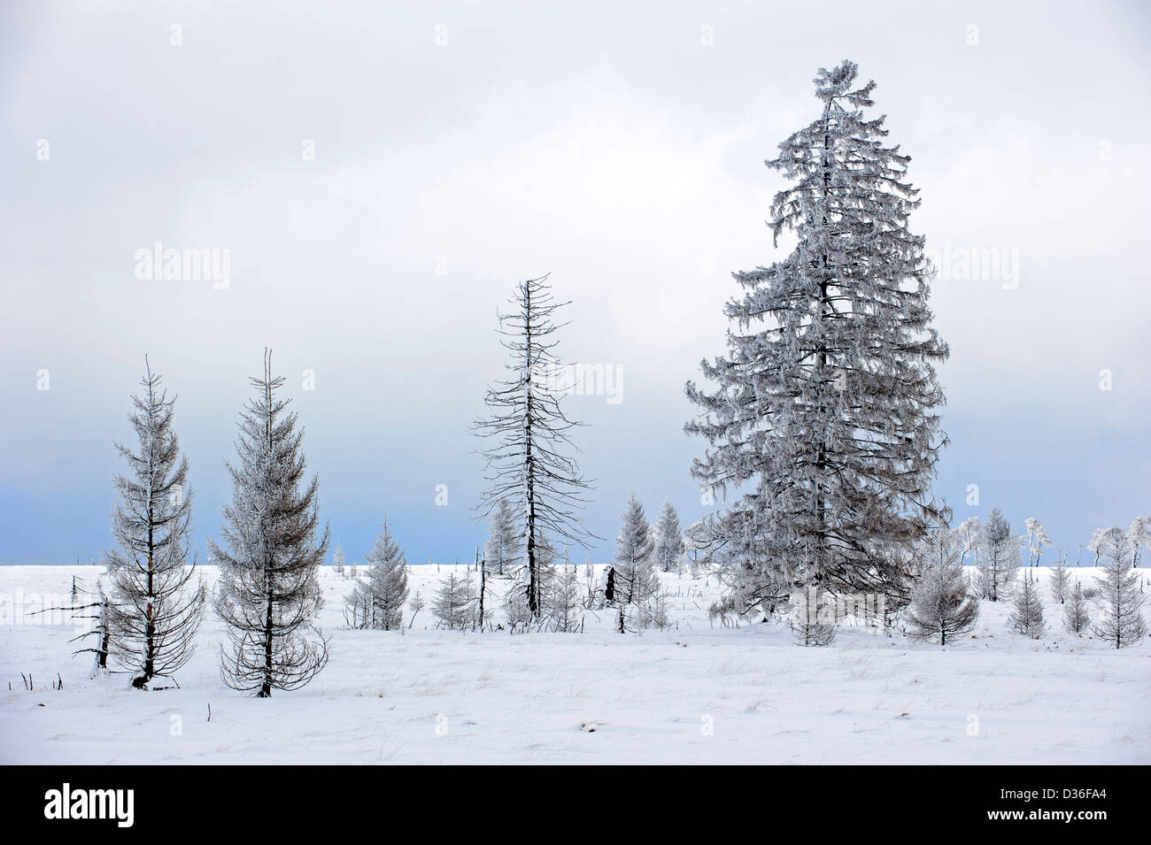 Burnt spruce trees in frozen moorland at Noir Flohay, High Fens / Hautes Fagnes in the snow in winter, Belgian Ardennes, - Stock Image